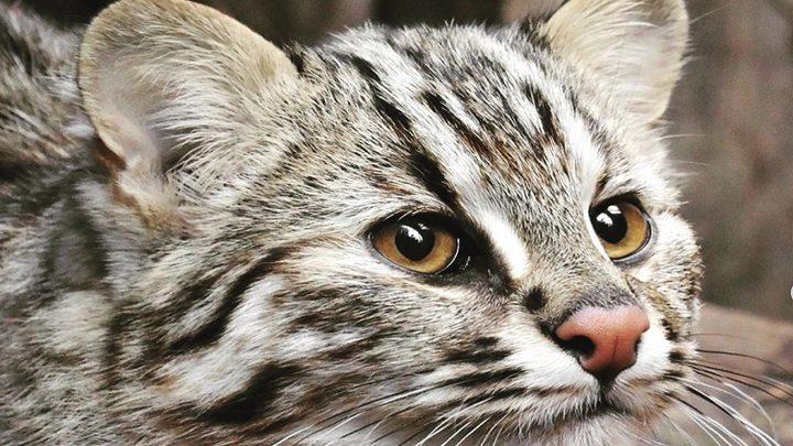 """""""قطة آمور"""" تظهر في حديقة حيوانات موسكو"""
