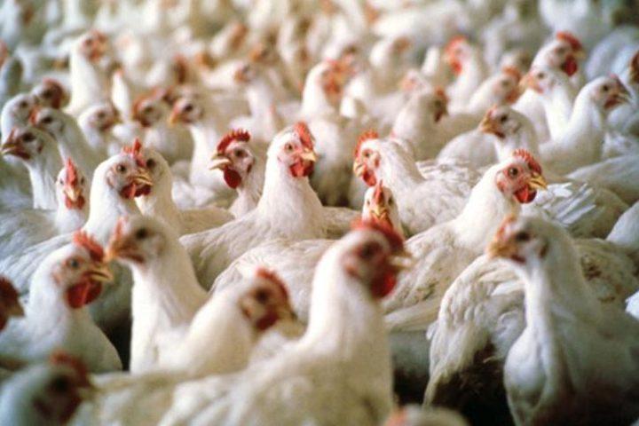 ضبط 1600 دجاجة مجهولة المصدر في الخليل