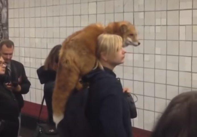 امرأة تثير الدهشة بثعلب في محطة مترو بموسكو