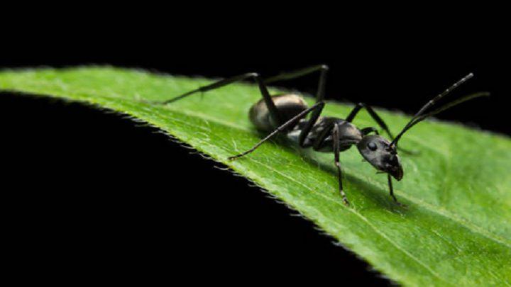 كيف يمكن للبشر الاستفادة من حنكة النمل عند المرض