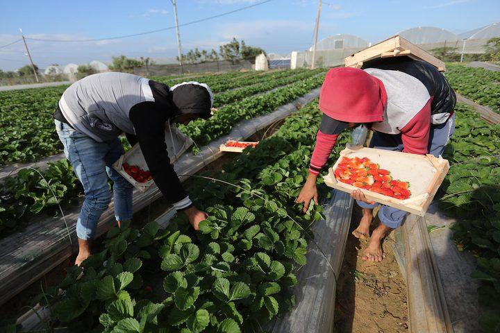 مزارع فلسطيني يحصد الفراولة في مزرعة في بيت لاهيا ، شمال قطاع غزة ، في 1 كانون الأول / ديسمبر ، 2018.