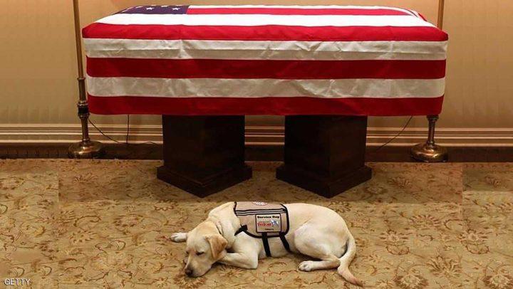صورة تجسد الوفاء كلب بوش لا يتخلى عنه حتى بعد موته