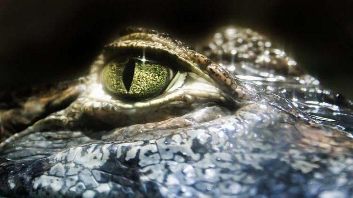 تمساح يحتجز شابا كرهينة! (فيديو)