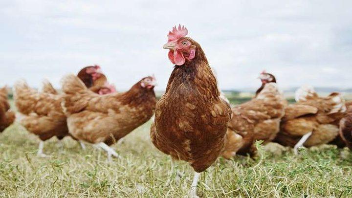"""العلماء يؤكدون أننا نعيش """"عصر الدجاج""""!"""