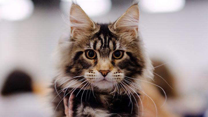 دراسة: أحجام القطط تغيرت!