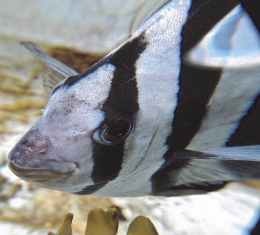 """العثور على """"سمكة تسونامي الهاربة"""""""