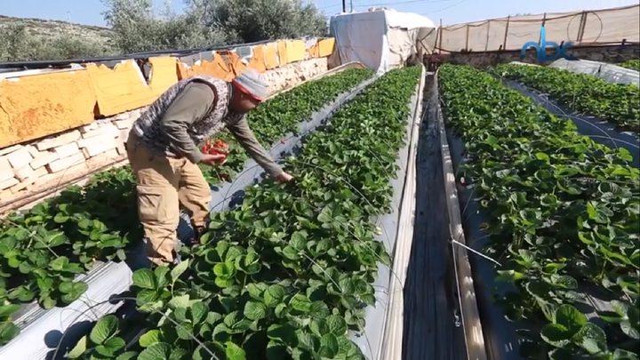 الفراولة تزين الأسواق في قلقيلية