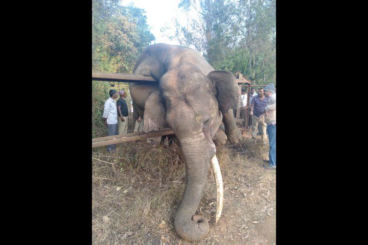 نفوق فيل بعد تنفيذه لعملية سرقة! (فيديو)