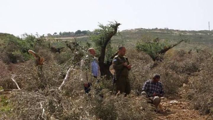 مستوطنون يقتلعون أكثر من 200 شتلة زيتون شرق يطا