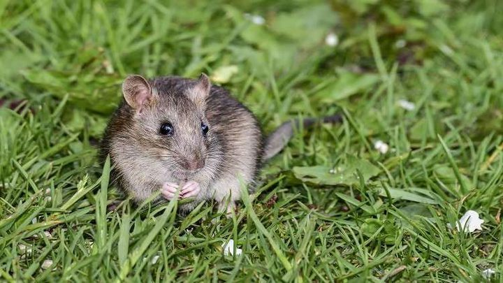الفئران مفتاح علاج فقدان البصر لدى البشر!