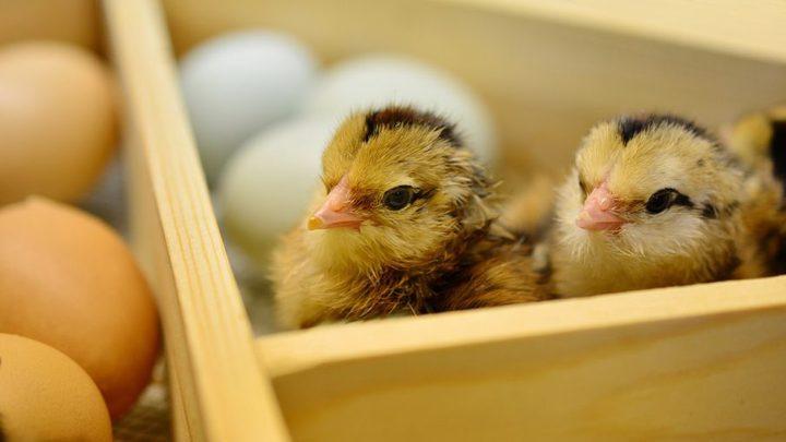 """ألمانيا..عرض أول بيض """"غير قاتل"""" بالعالم للبيع!"""