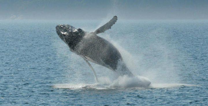 مسبار إلكتروني يتحرك على أجسام الحيتان