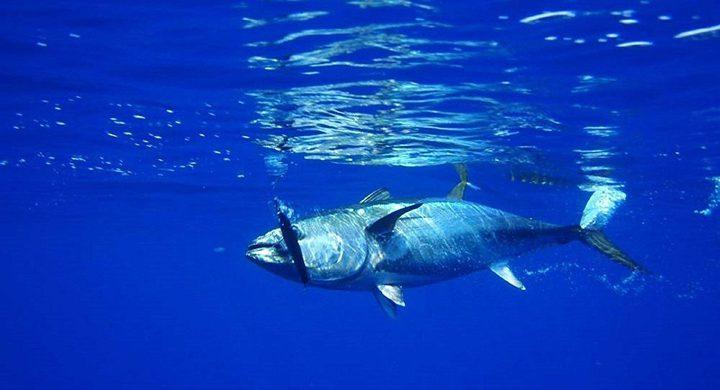 بيع سمكة تونة بـ3.1 مليون دولار
