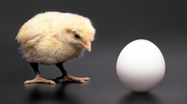 العلماء يجيبون: من أولا البيضة أم الدجاجة؟