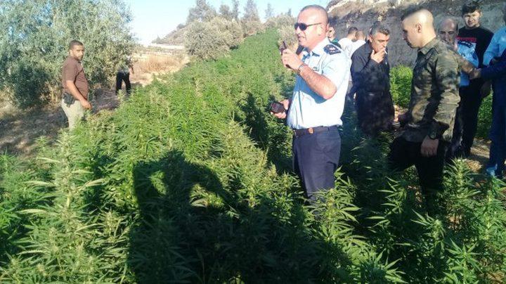 """الوقائي""""يضبط مشتلاً لزراعةالمخدرات في محافظةرام الله والبيرة"""