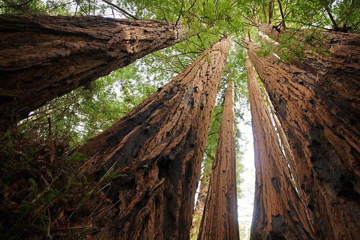 ما هي أكبر شجرة في العالم؟