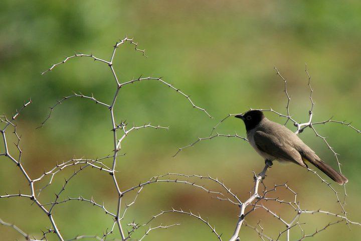 طائر البلبل في قرية كردلة بالقرب من مدينة طوباس