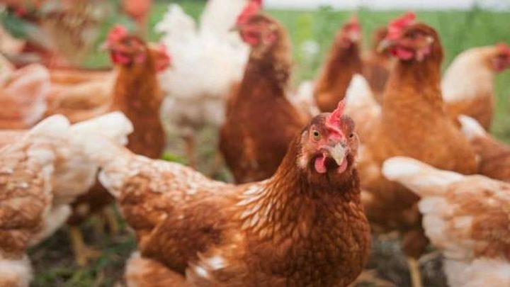 بيض دجاج معدل وراثيا يكافح السرطان!