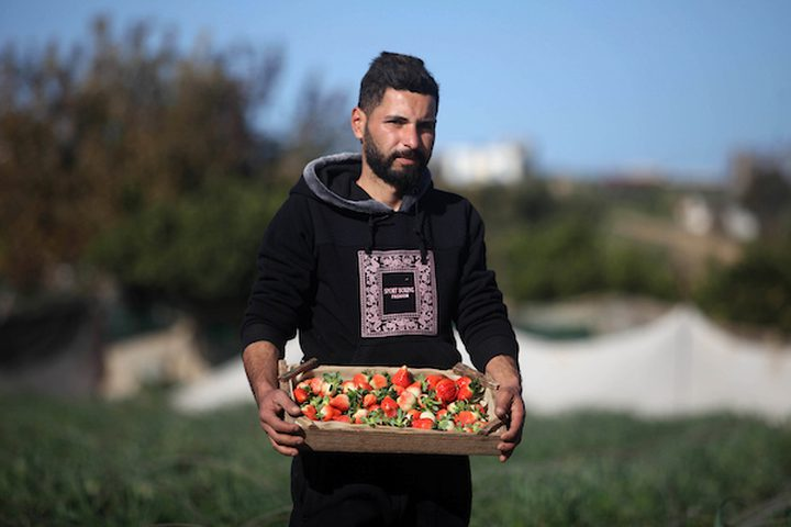 مزارع فلسطيني يحصد الفراولة في مزرعة في بيت لاهيا ، في شمال قطاع غزة ، في 30 يناير ، 2019.