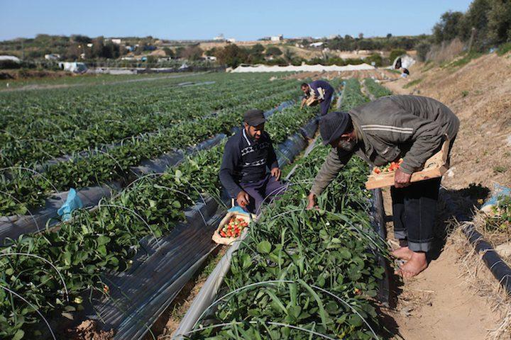 مزارعون فلسطينيون يحصدون الفراولة في مزرعة في بيت لاهيا ، في شمال قطاع غزة ، في 30 يناير ، 2019.