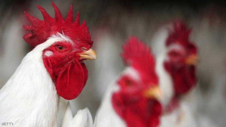 """تعديل دجاج وراثيا.. والنتيجة """"بيض لمعالجة السرطان"""""""