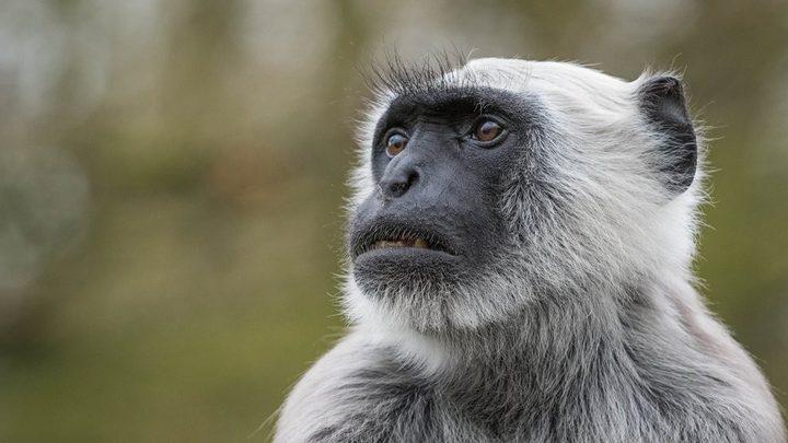 «مقاليع» لمهاجمة القردة في تاج محل