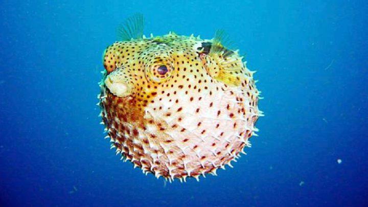 """""""سمكة"""" توحي بابتكار يكشف السرطان!"""
