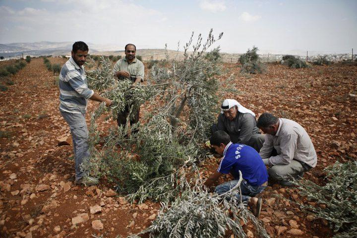 مستوطنون يقتلعون أشتال زيتون في منطقة الحمرا