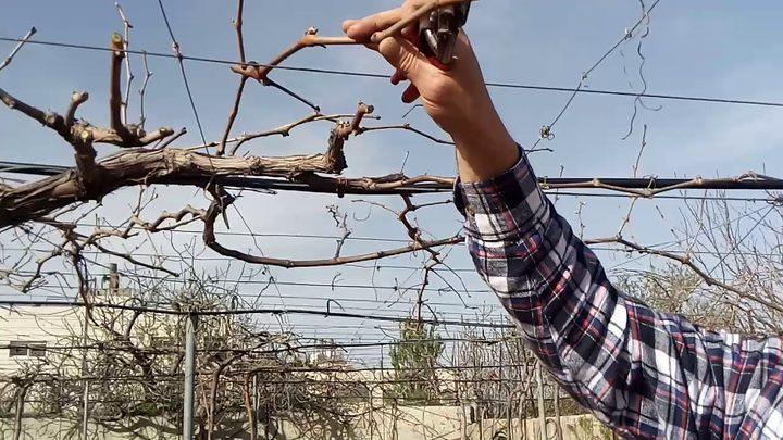 لضمان جودة الثمر ..مزارعو العنب يشرعون بتقليم أشجارهم