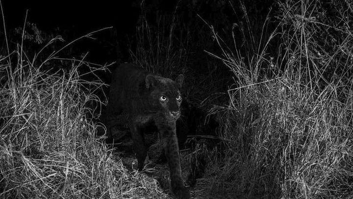 ظهور النمر الأسود في كينيا بعد غياب مئة عام