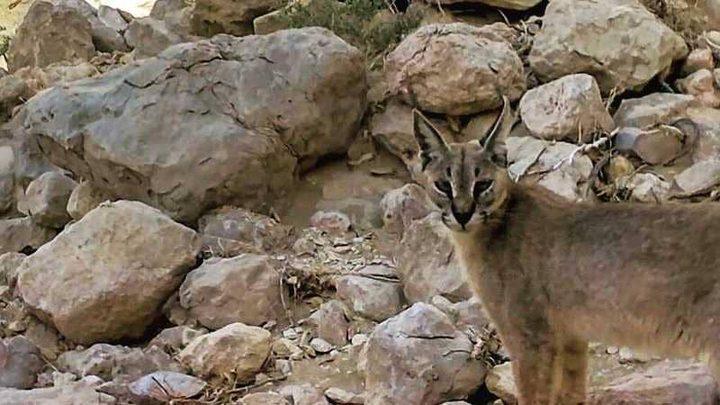 رصد حيوان لم يشاهَد في أبوظبي منذ 35 عاما