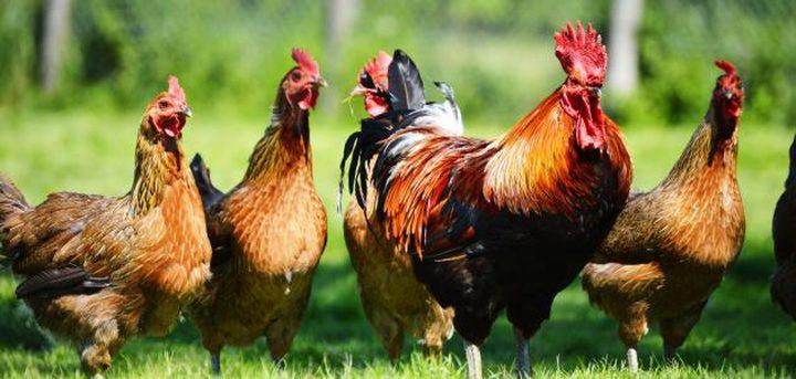 شركة صينية تطور جهازا لتعقب الدجاج والتأكد من صحته