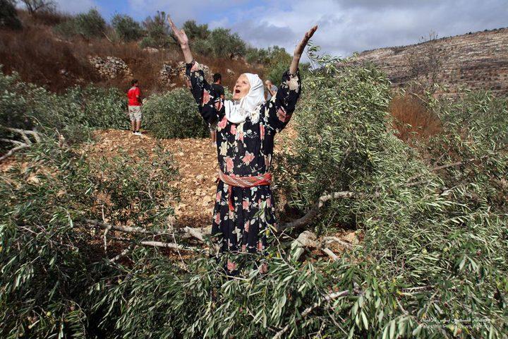 الاحتلال يجرف 28 دونما ويقتلع 300 شجرة زيتون ولوز في أراضي برطعة