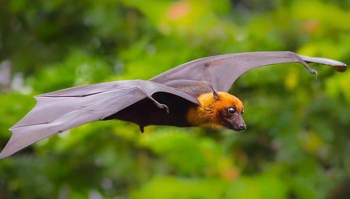 دراسة: انفلونزا الخفافيش يمكن أن تنتقل للانسان وتسبب وباء قاتل