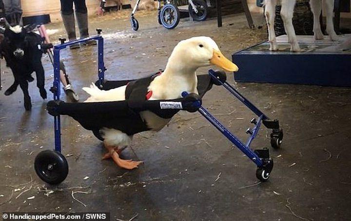 """شركة تبتكر كرسيا متحركا للبطة """"مارلين"""" المعاقة لتتمكن من المشى"""