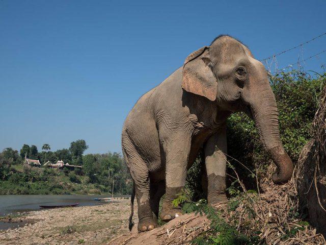 """بعد 43 سنة من الاكتئاب.. وفاة الفيل """"فلافيا"""" الأكثر حزنا بالعالم"""