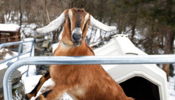 عنزة نوبية..أول عمدة شرفي من الحيوانات الأليفة في أمريكا