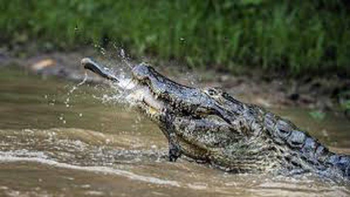 تمساح جائع ينقض على سمكة علقت بصنارة صياد! (فيديو)