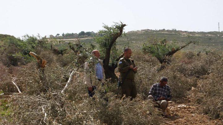 مستوطنون يقطعون عشرات أشجار الزيتون في بورين