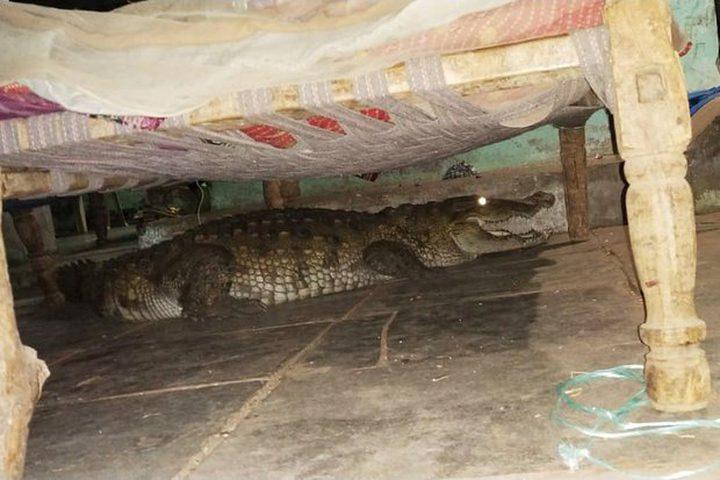 مزارع هندى استيقظ من النوم وجد تمساح تحت السرير ..؟