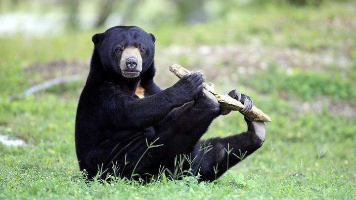 قدرة فريدة لدى الدببة تكشف عن تطور مجتمعاتها