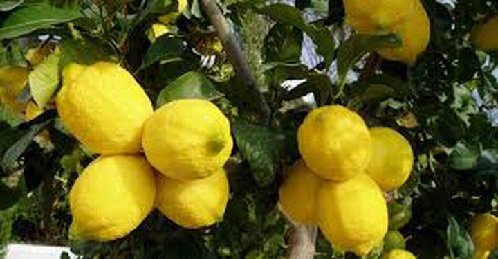 قلقيلية تصدر 255 طنا من الليمون إلى الأردن