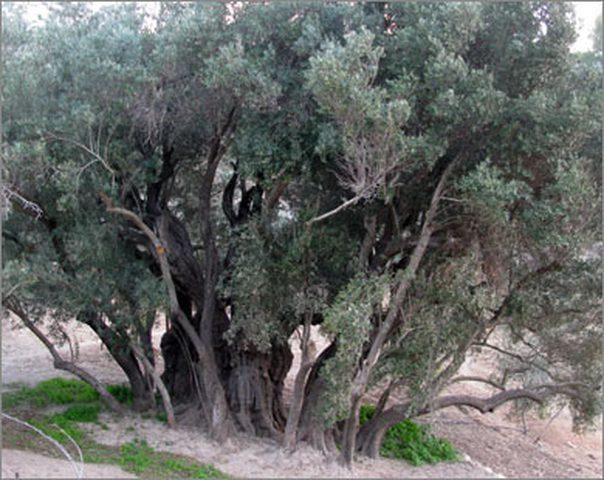 شجرة البدوي ..أقدم شجرة معمرة وباقية بجهود الفلسطينيين ورعايتهم