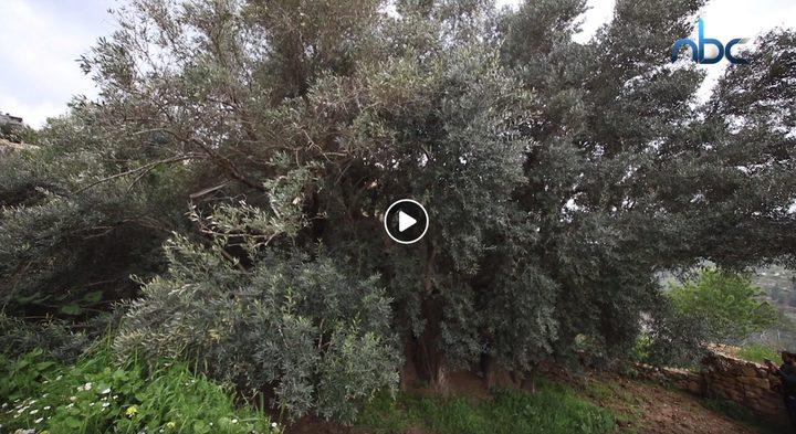 أكبر شجرة زيتون في العالم تتحدى الجدار في بيت لحم