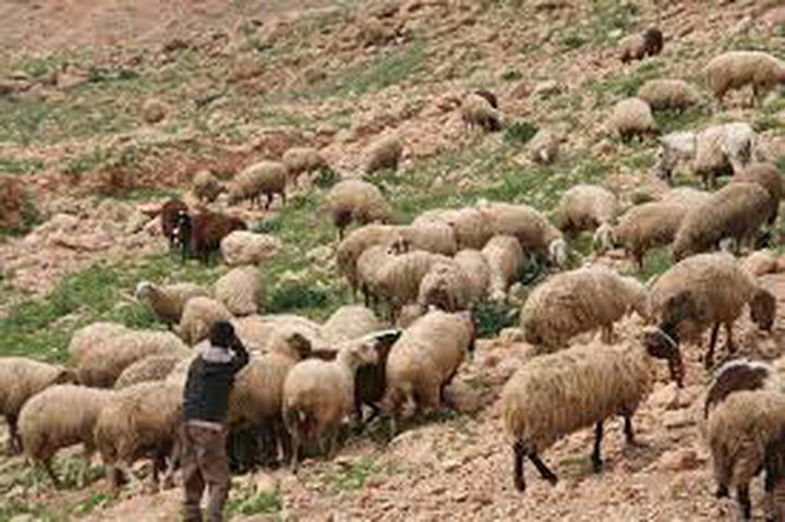 مستوطنون يسرقون رأس غنم لمواطن في الأغوار الشمالية