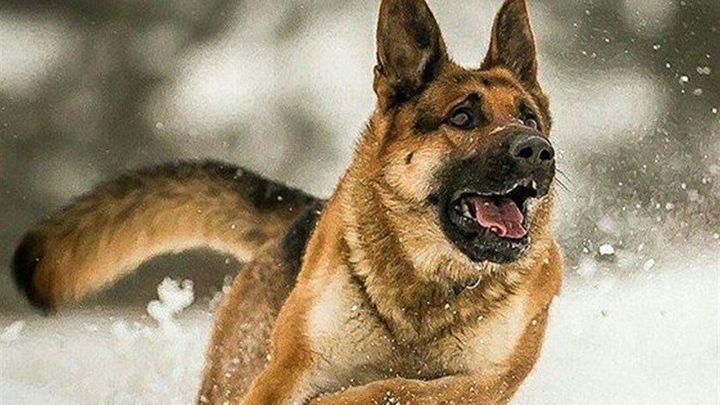 دراسة: الكلاب تمتلك القدرة على شم الأورام السرطانية بنسبة 97%