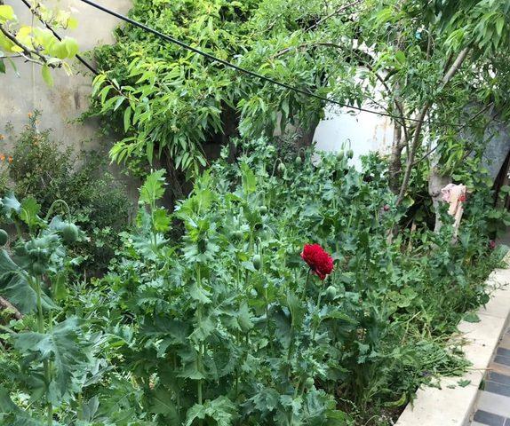 83 شتلة خشخاش بحديقة منزل بإحدى قرى نابلس