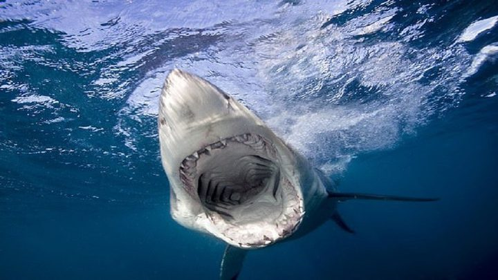 دراسة تكشف ما يرعب أسماك القرش الفتاكة!