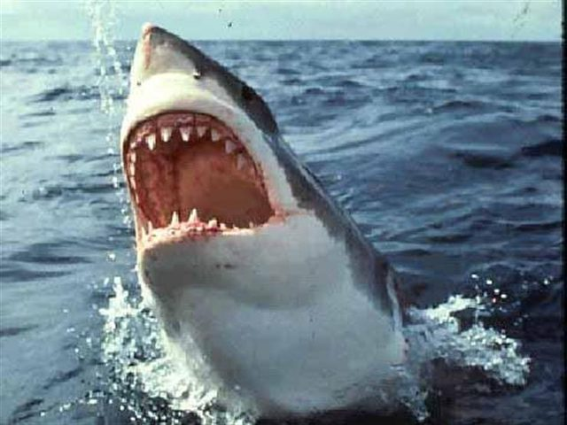 شاهد.. شاب يطعم بيده أسماك القرش الأبيض !