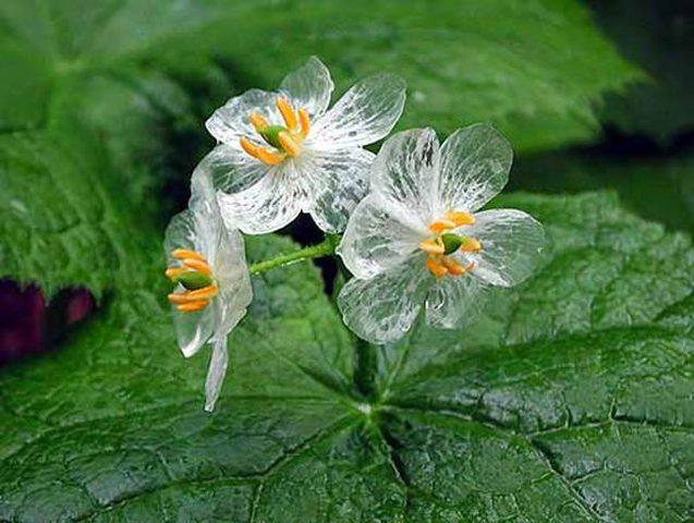 """شاهد """"زهرة الهيكل العظمي""""... تصبح شفافة عند هطول المطر عليها"""